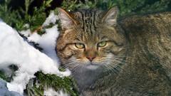Wildkatze (karinrogmann) Tags: wildkatze wildcat gattoselvatico greifvogelstationhellenthal nikonafszoom70300mm