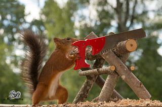 squirrel is holding a saw