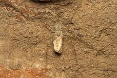 Hersiliidae sp. (Long-spinnered Bark Spider) - South Africa (Nick Dean1) Tags: animalia arthropoda arthropod arachnid arachnidae arachnida hesilidae barkspider longspinneredbarkspider krugernationalpark southafrica mopani