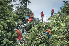 Red-and-Green Macaws (Tris Enticknap) Tags: redandgreenmacaw bahuajasonenenationalpark southamerica heathriverclaylick peru nikond750 tambopata nikkor300mmf4epfedvrlens arachloropterus tropicalrainforest