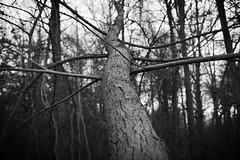Falling Won't Work (IanOlsenPhotography) Tags: trees tree beginner bw nature woods outside leaf wood sticks