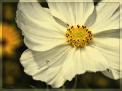 Cosmos (Heinze Detlef) Tags: pflanze blume flower blüte pollen makro macro bokeh cosmos kosmeen schmuckkörbchen