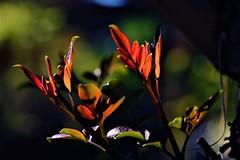 Presagio de primavera (ameliapardo) Tags: hojas brotes arboles plantas macrosdeplantas naturaleza fujixt1