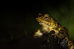 1ère sortie hivernale (matmorau) Tags: amphibians amphibien batraciens bufobufo bufonidae commontoad crapaudcommun