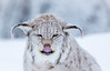"Mira on a bad ""hair"" day?! (CecilieSonstebyPhotography) Tags: bokeh portrait eurasianlynx lynx winter endangered closeup frost cat canon licking animal norway markiii badday gaupe langedrag canon5dmarkiii frostcrystals eartufs tongue january catfamily snow specanimal ngc npc"
