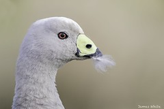 Cape Barren Goose (Jims Wildlife) Tags: capebarrengoose goose bird nature australia animal wildlife cereopsisnovaehollandiae