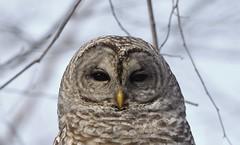 Barred Owl (hd.niel) Tags: barredowl nature woodland wildlife ontario photography raptor