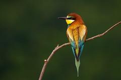 Bee-eater (sylviafurrer) Tags: bienenfresser beeeater vogel bird bulgarien bulgaria wildlife feder gefieder plumage nature natur