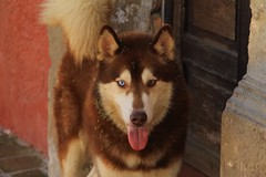 Mexico 2017 (liamebirge) Tags: mexico puerto vallarta santiago del oeste dog perro heterochromia iridum seeds husky
