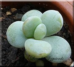 Pachyphytum cuicatecanum