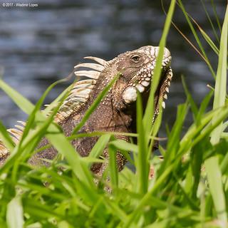 Iguana Verde - Adulto / Green Iguana - Adult