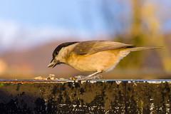 La cincia bigia di Miglieglia (Flavio Matt) Tags: pentaxk3 100mmmacrowr cinciabigia uccello goldenhour semi miglieglia cibo