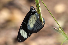 IMG_5903  Amauris niavius (Raiwen) Tags: nymphalidae danainae insect butterfly africa westafrica guinea guinéeforestière amauris amaurisniavius