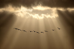 Evening Formation (adrians_art) Tags: geese skien skies clouds rays lightbeams sunset evening silhouettes shadows birds nature wildlife light dark gold yellow red orange black white flight flying