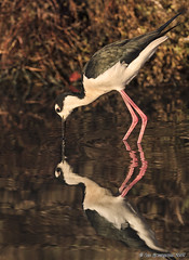 The Look Back (pandatub) Tags: bird birds stilt blackneckedstilt reflection shorelinepark mountainview