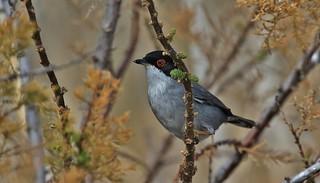 Sardinian Warbler - male      (Sylvia melanocephala)