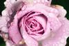 From Glimmer to Ashes (Thomas Hawk) Tags: america internationalrosetestgarden oregon pdx portland portlandrosegarden rosegarden usa unitedstates unitedstatesofamerica washingtonpark westcoast flower rose us fav10 fav25