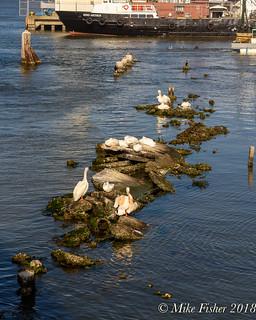 Pelicans' Perch