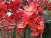 flowering quince (Black Cat Bazaar) Tags: floweringquince chaenomeles shrub ornamental flowers blossoms coral red february valentine chico california ca northerncalifornia winter bloom alleyway shortcut branches fenceline