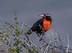"Long Tailed Meadowlark (""DEB"") Tags: longtailedmeadowlark bird argentina patagonia d500 nikon200500mm meadowlark"