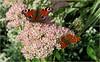 Au jardin botanique expérimental Jean Massart à Auderghem, Bruxelles, Belgium (claude lina) Tags: claudelina belgium belgique belgïe bruxelles brussel auderghem jardin garden jardinbotanique jardinjeanmassart