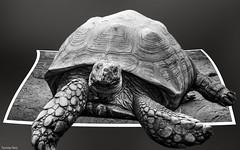 Turtle B&W (YᗩSᗰIᘉᗴ HᗴᘉS +12 000 000 thx❀) Tags: turtle monochrome blackandwhite 7dwf art creative bn hensyasmine
