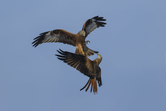 Kite(s) - Clash of the Titan's (Ann and Chris) Tags: avian amazing awesome birds flying predator raptors wildlife wild wings kites red