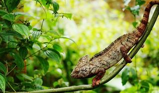 Oustalets's chameleon (Furcifer oustaleti)