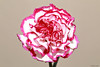 Carnation (Allan Jones Photographer) Tags: carnation pinkandwhitecarnation beauty nature allanjonesphotographer canon5d4 canonef100mmf28lmacroisusm
