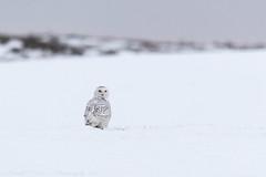 Snowy Owl (Bubo scandiacus) (svizzerams2010) Tags: mansfield washington unitedstates us snowyowl buboscandiacus douglascounty owl winter snow white raptor predator