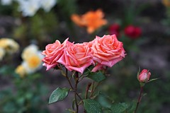 Magic Roses (sergrossov) Tags: nature beautiful light tree color art fall forest germany autumn garden europe plant field outdoor closeup fine botany amazing weather tranquility season calm rural countryside peace perspective agr flora green russia rose roses flowers flower