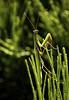 Praying - Explore 120118 (cliveg004) Tags: prayingmantis insect wildlife france ardeche bokeh horsetail nikon d5200