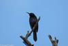 Cinnyris asiaticus (Purple Sunbird) (GeeC) Tags: animalia aves birds cambodia chordata cinnyris cinnyrisasiaticus kohkongprovince nature nectariniidae passeriformes passerines purplesunbird sunbirds tatai