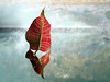 Sailing By (Smiffy'37) Tags: leaf poinsettia sculptural reflections creative textures postprocessing minimal minimalist 7dwf