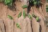 Yellow-crowned Amazon (Tris Enticknap) Tags: southamerica yellowcrownedamazon manú peru nikond750 blanquilloclaylick nikkor300mmf4epfedvrlens amazonanattereri manúbiospherereserve manúnationalpark tropicalrainforest akaamazonianyellowcrownedparrot formerlyamazonaochrocephala amazonbasin
