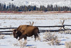 Bison after crossing Highway 89 at Moran, WY. (scepdoll) Tags: grandtetonnationalpark wyoming moran findyourpark bison buffalo winter snow