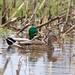 Mallard Ducks Pair