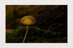 Inner Glow (hall1705) Tags: innerglow mushroom fungi closeup woods macro outdoor nature depthoffield nikon1j5