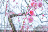 Japan.2018.018 (ginomempin) Tags: plumblossoms ume flowers tree spring japan fujixt2 fujifilmxt2 fujifilmxseries