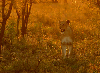 Lioness in sunset backlight!