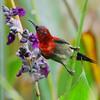 Crimson sunbird reaching up to a water canna flower (Robert-Ang) Tags: sunbird crimsonsunbird aethopygasiparaja jurongecogarden singapore animalplanet