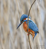 King on a Reed (mikedenton19) Tags: kingfisher male alcedo atthis alcedoatthis bird nature wildlife tophilllow naturereserve yorkshire water yorkshirewater yorkshirenaturetriangle