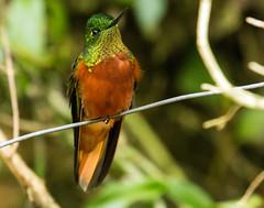 IMG_2868  Chestnut-breasted Coronet_hummingbird (ashahmtl) Tags: chestnutbreastedcoronet bird hummingbird boissonneauamattheusii guangolodge napoprovince ecuador