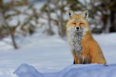 Beautiful Fox Portrait - 9468b (teagden) Tags: beautiful fox portrait redfox foxy winterfox jenniferhall jenhall jenhallphotography jenhallwildlifephotography wildlifephotography wildlife nature naturephotography photography wild nikon winter snow wyoming wyomingwildlife