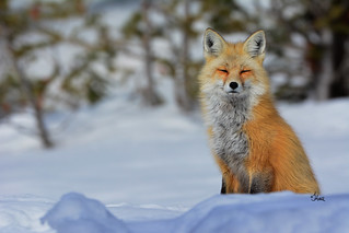 Beautiful Fox Portrait - 9468b