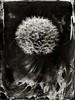 Pusteblume I - 2017 (Daniel Samanns) Tags: dandelion löwenzahn kollodium wet plate collodion flower art