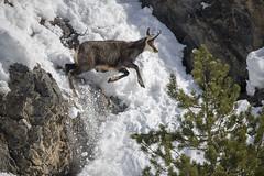 Human impossible (quanuaua) Tags: ifttt 500px winter snow wildlife alps wild animals nature photograph photo covered cold temperature livigno rupicapra camoscio pics photos alpino alpine chamois