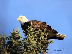 IMG_6440_Bald Eagle (pamfromcalgary) Tags: baldeagle glenmorereservoir nature birdofprey raptor calgary alberta pamhawkes