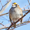 White-Throated Sparrow (Field Depth) Tags: whitethroatedsparrow