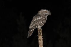 tawny frogmouth (Podargus strigoides) (Griffins Photos) Tags: bird frogmouth australia night